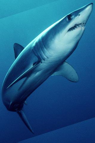 Shark fishing marthas vineyard mako and blue shark fishing thecheapjerseys Choice Image
